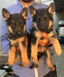 فروش سگ ژرمن شپرد ، فروش توله ژرمن اصیل - 1