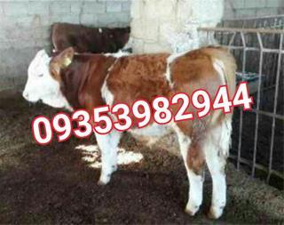 فروش گاو زنده - گاو گوشتی سمینتال گوساله پرواری - 1