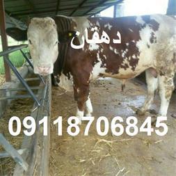 خرید و فروش گوساله - دام زنده - 1