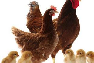 آموزش پرورش مرغ بومی تخمگذار (رویان طیور)