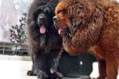 سگ های استثنایی تیبتن ماستیف ( خاص ترین سگ دنیا )