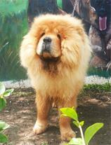 فروش سگ های بسیار زیبا و باهوش چاوچاو