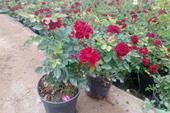 فروش عمده گل رز