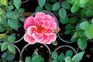 فروش اینترنتی گل و گیاه محلات