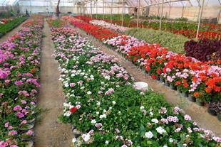 فروش عمده انواع گل های آپارتمانی