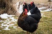 فروش مرغ شناسنامه دار  بلک استار با راندمان بالا