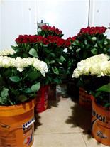 فروش گل رز شاخه ای
