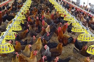 فروش مرغ محلی 35 روره