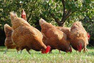 فروش مرغ محلی 3/5ماهه