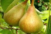 فروش ویژه انواع نهال میوه