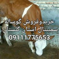 فروش گوساله سیمینتال ، خرید و فروش گوساله گوشتی