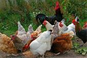 فروش ویژه جوجه و مرغ تخم گذار بومی