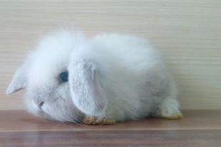 خرگوشهای اصیل