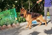 سگهای اصیل ژرمن شپرد (مخصوص نگهبانی و گارد)