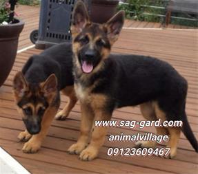 فروش تخصصی سگ ژرمن شپرد از توله تا بالغ,سگ نگهبان - 1