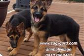 فروش تخصصی سگ ژرمن شپرد از توله تا بالغ,سگ نگهبان