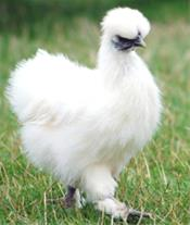 فروش  و ارسال تخم نطفه دار  مرغ ابریشمی