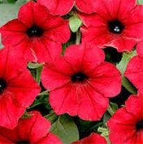 بذر آهار بذر گل جعفری بذر گل اطلسی ، بذر گل شب بو