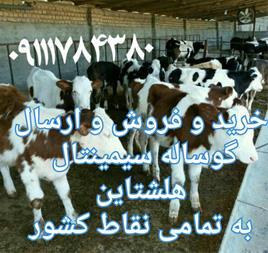 فروش گوساله سیمینتال ، فروش گوساله هلشتاین - 1