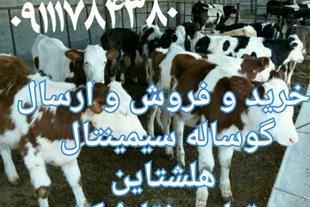 فروش گوساله سیمینتال ، فروش گوساله هلشتاین