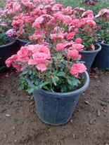 گل ساناز ( انواع گل رز مینیاتوری ساناز )