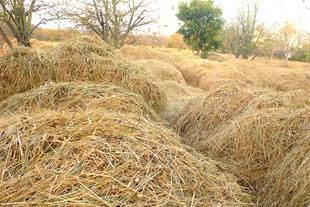 کلش برنج ( کاه برنج )