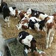 فروش گوساله سیمینتال و هلشتاین