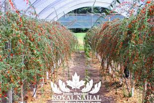 خرید / فروش نهال گوجه بری