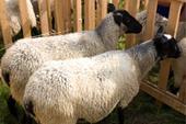 کارگاه آموزشی پرورش گوسفند داشتی و رومانف