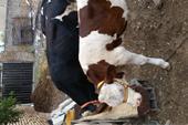 فروش گوساله سیمینتال - فروش گوساله هلشتاین - دام ز