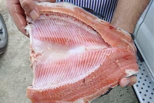 نمونه ماهی تولیدی