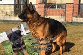 پرورش سگ گارد ،سگ ژرمن شپرد ، توله ژرمن اصیل