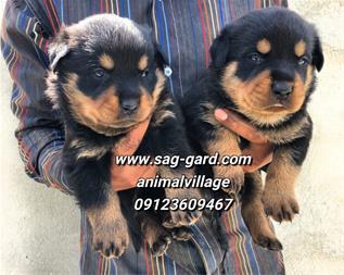 فروش توله روتوایلر،فروش سگ رتوایلر ،فروش سگ نگهبان - 1