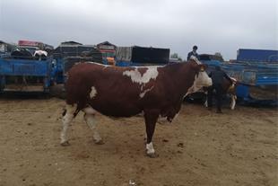فروش جوانه کشتاری سیمینتال و گوساله پرواری