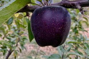 فروش نهال سیب جرمین