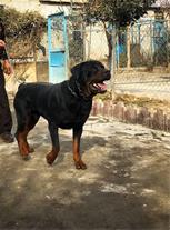 فروش سگ گارد روتوایلر