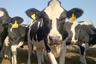 فروش گاو شیری و تلیسه هلشتاین پیش فاکتور