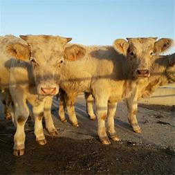 فروش گاو و گوساله سمینتال وقیمت انواع گوساله - 1