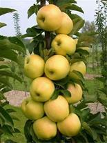 نهال سیب زرد