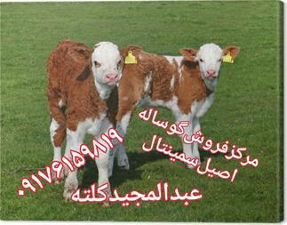 فروش انواع گاو و گوساله اصیل - 1