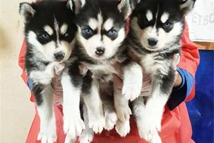 فروش توله سگ هاسکی ، قیمت توله هاسکی