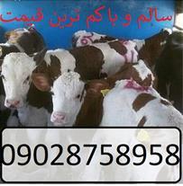 فروش گوساله سمینتال با قیمت و سلامتی تضمینی
