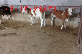 فروش  گوساله سمینتال ، خرید گوساله سمینتال