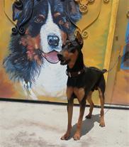 فروش سگ دوبرمن