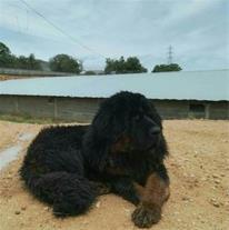 فروش سگ غول آسای تبت ماستیف