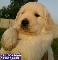 فروش توله سگ گلدن