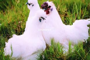 فروش تضمینی تخم نطفه دار مرغهای زینتی