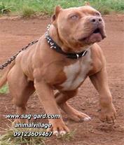 فروش توله پیت بول اصیل و قلدر، سگ پیتبول pitbull