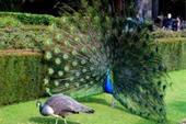 تخم نطفه دار طاووس با ضمانت کتبی