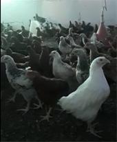 فروش خروس و مرغ تخمگذار گلپایگان اصلاح شده